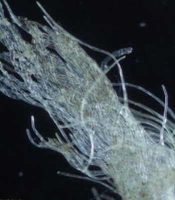 Magnified image of a sample of the warp fibre from a social history banner in Glasgow Museums collection (courtesy of Maria Kontimpa)