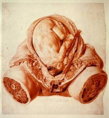 Colour photograph of a red chalk drawing by Jan van Rymsdyk of a gravid uterus, made for William Hunter's work on anatomy